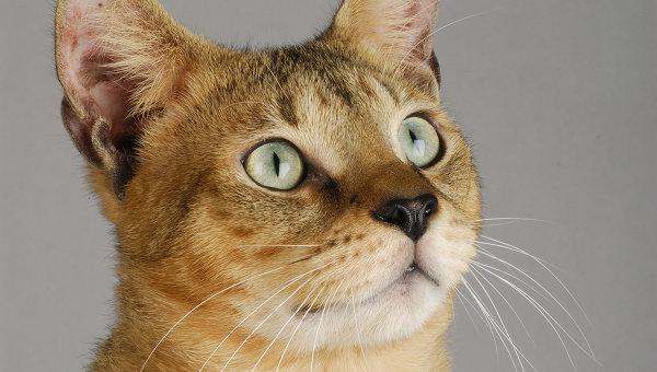 Почему зрачки кошек похожи на вертикальные щели