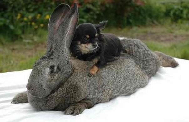 При концлагерях гитлеровцы разводили гигантских кроликов