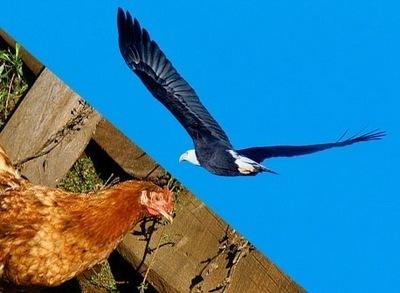 Орёл и курица