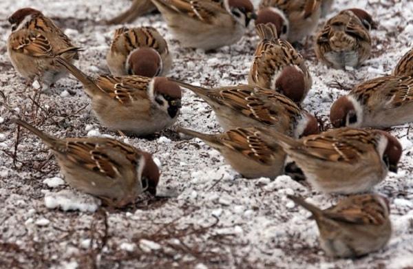 Птичий геноцид: как природа отомстила китайцам