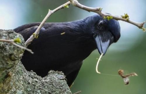 Почему по интеллекту вороны не уступают приматам